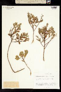 Image of Spiraea septentrionalis