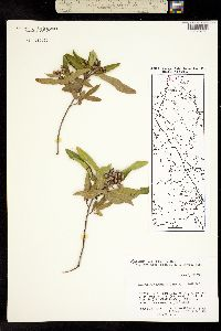 Image of Vauquelinia pauciflora