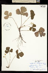 Image of Waldsteinia fragarioides