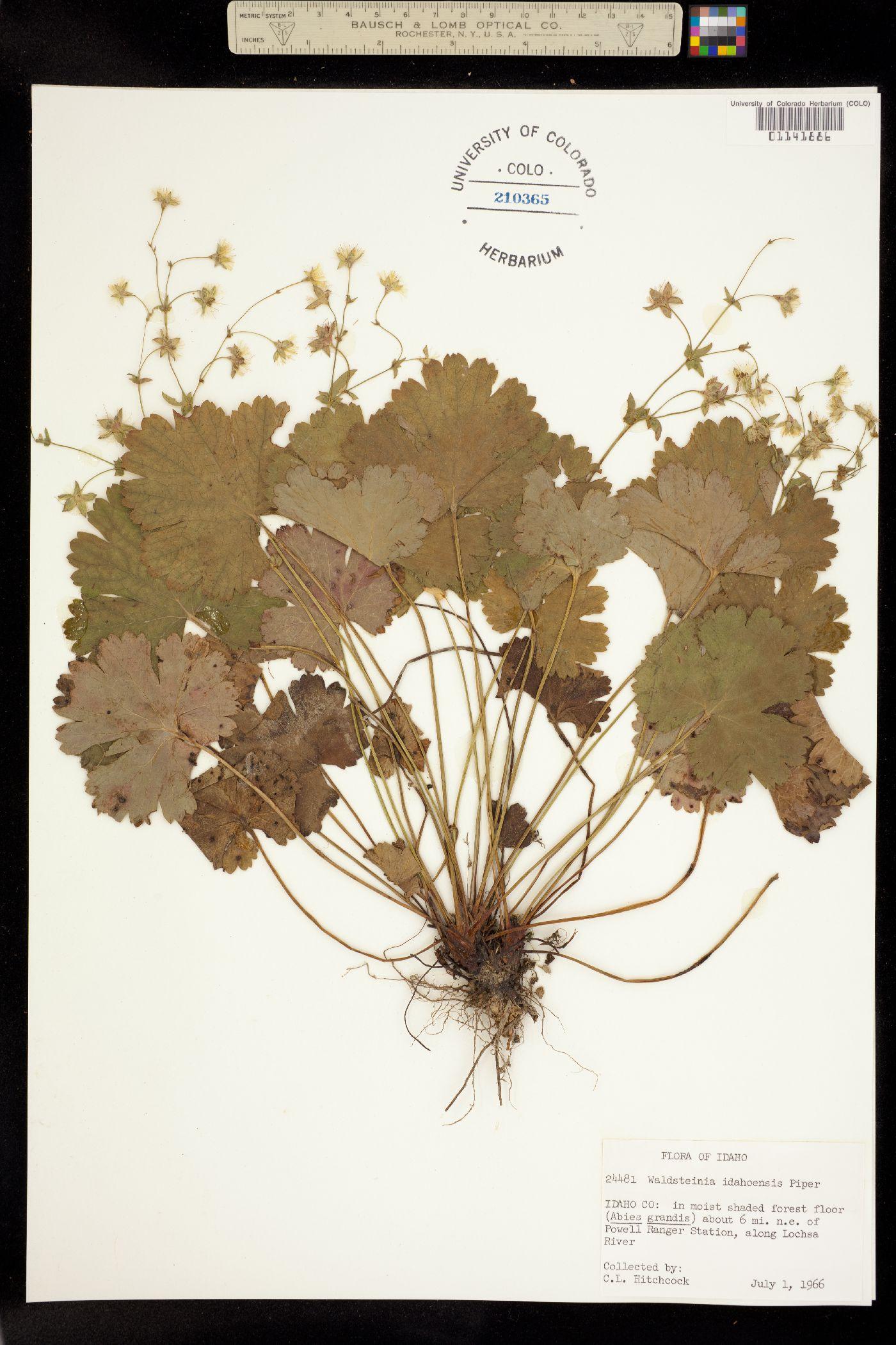 Waldsteinia idahoensis image