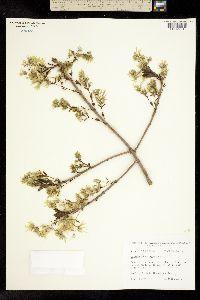 Chionanthus virginica image