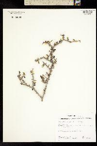 Forestiera angustifolia image