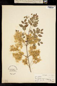 Fraxinus dipetala image