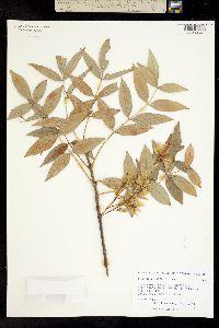Fraxinus papillosa image