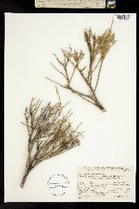 Menodora spinescens image