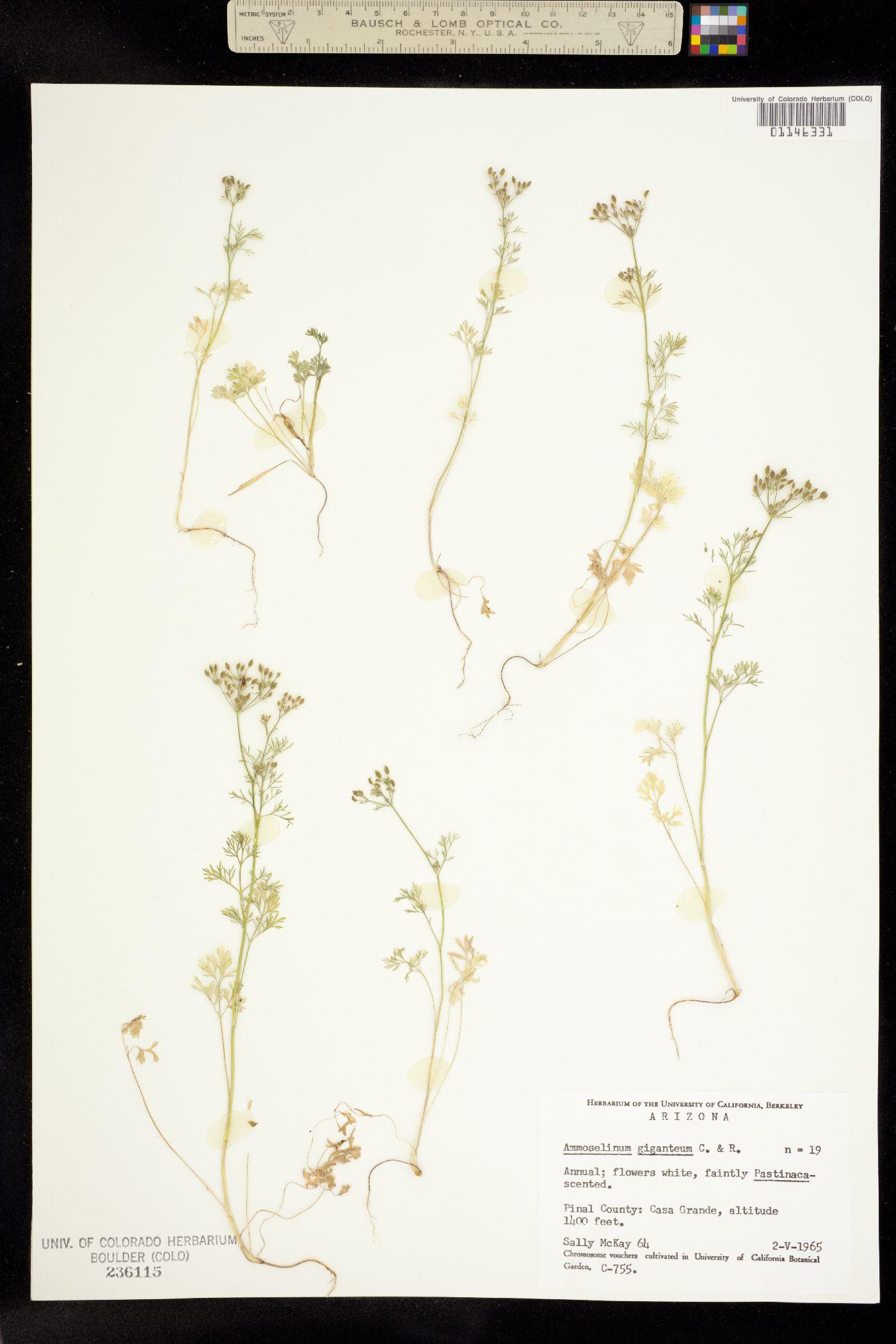 Ammoselinum giganteum image