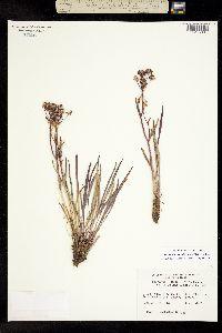 Bupleurum americanum image