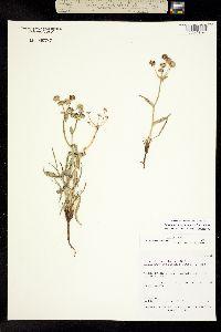 Image of Bupleurum americanum