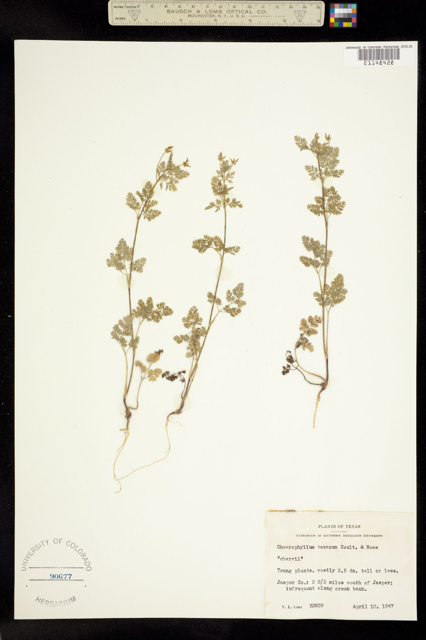 Chaerophyllum texanum image