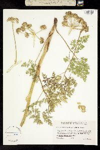 Image of Cnidium cnidiifolium