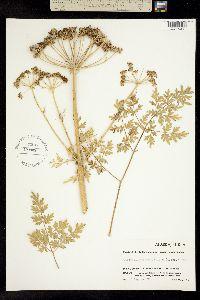 Cnidium cnidiifolium image