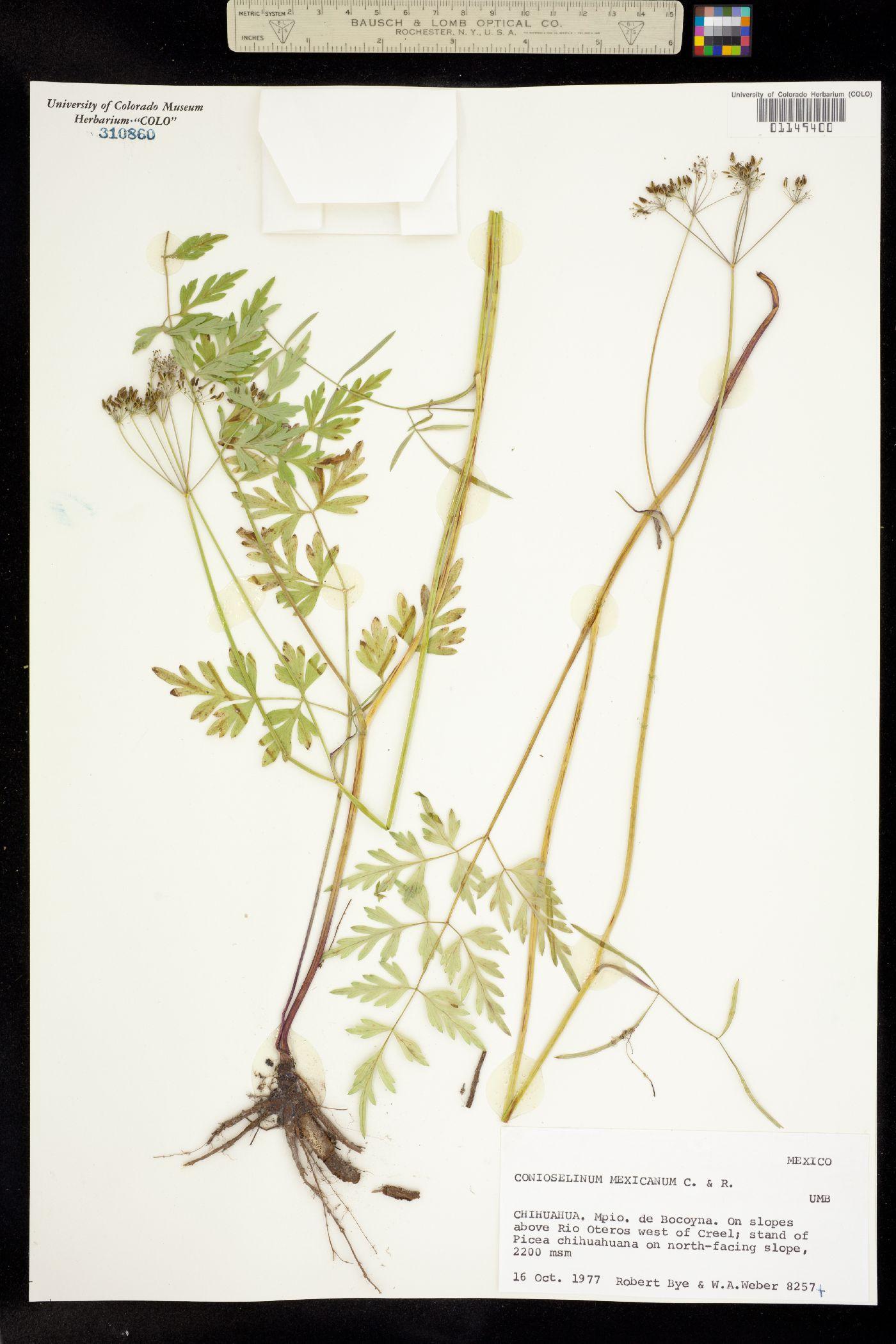 Conioselinum mexicanum image