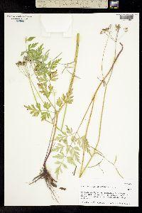 Image of Conioselinum mexicanum