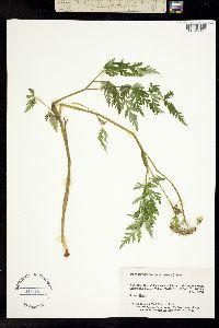 Conioselinum gmelinii image