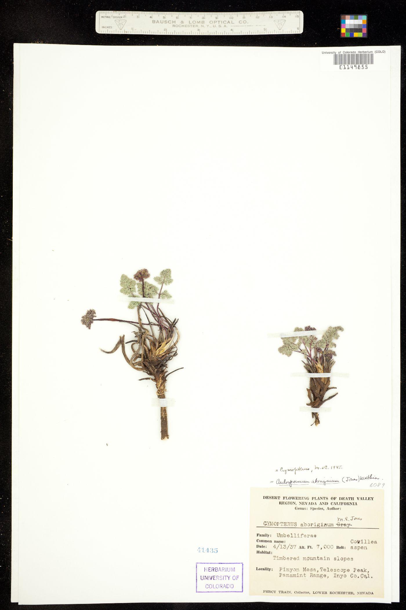 Cymopterus aboriginum image