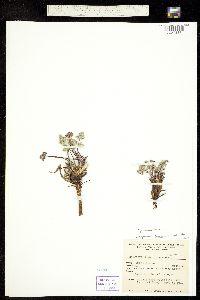 Image of Cymopterus aboriginum
