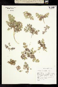 Cymopterus corrugatus image