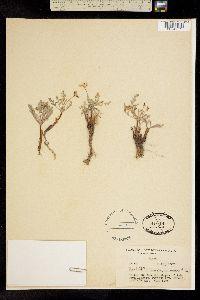 Cymopterus glaucus image
