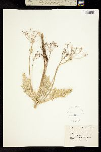 Image of Cymopterus glaucus