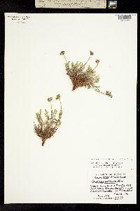 Pteryxia hendersonii image