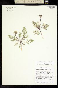 Image of Cymopterus lapidosus