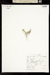 Pteryxia terebinthina image