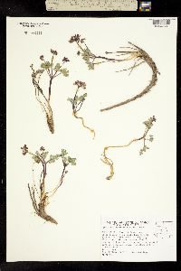 Image of Cymopterus goodrichii