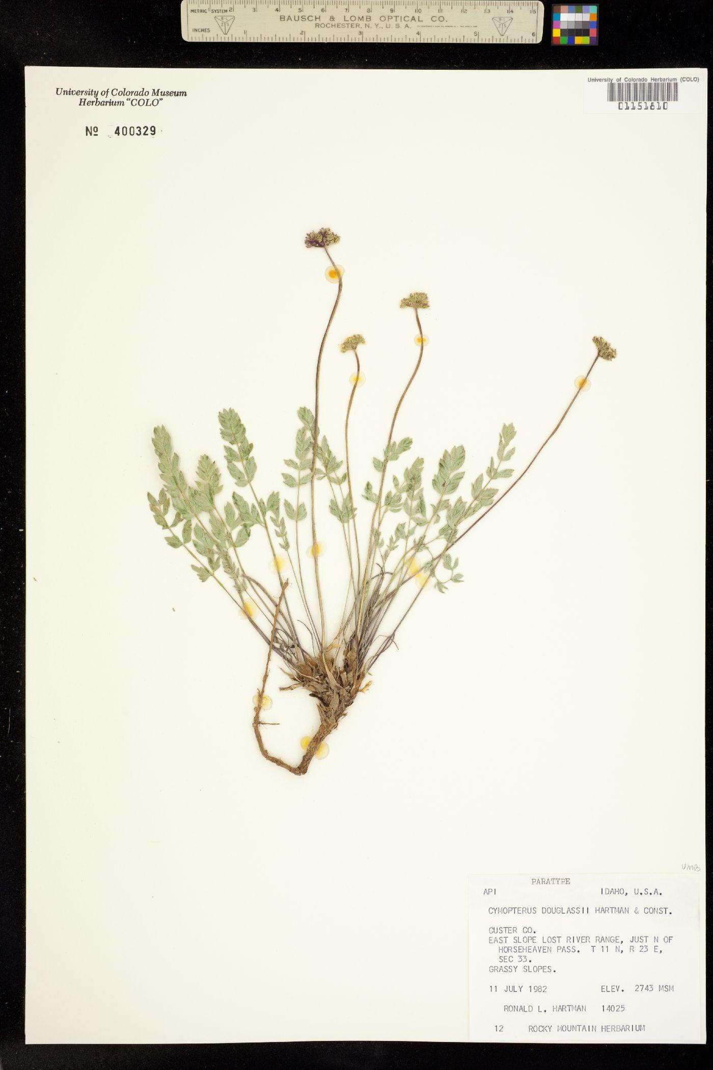 Cymopterus douglassii image