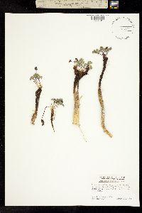 Cymopterus cinerarius image