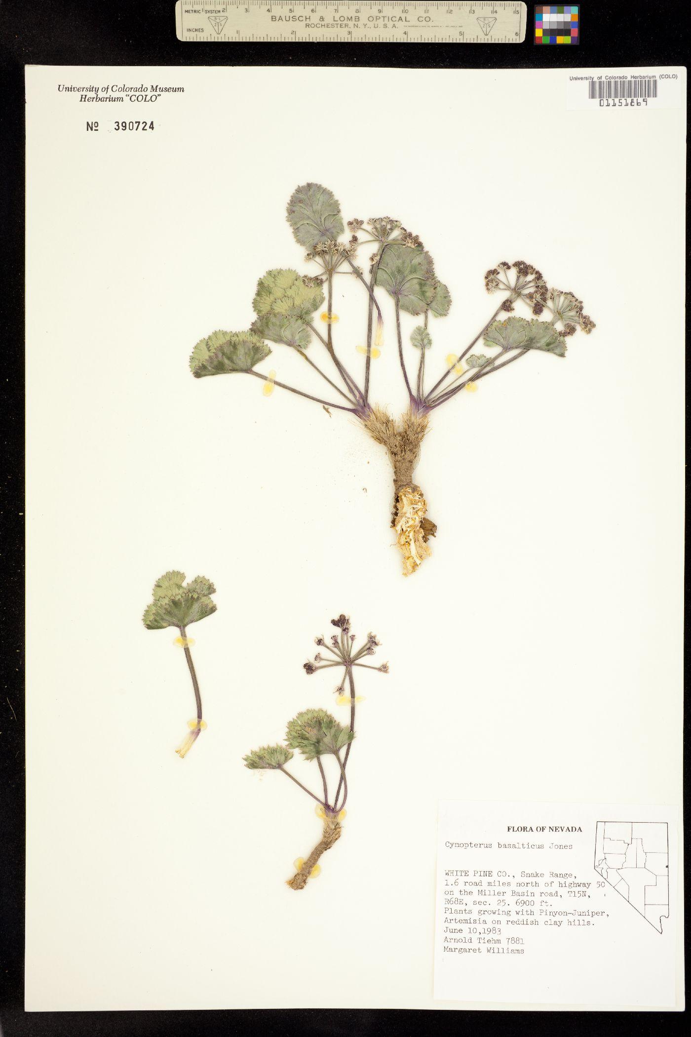 Cymopterus basalticus image