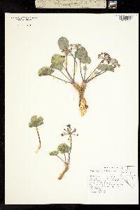Image of Cymopterus basalticus