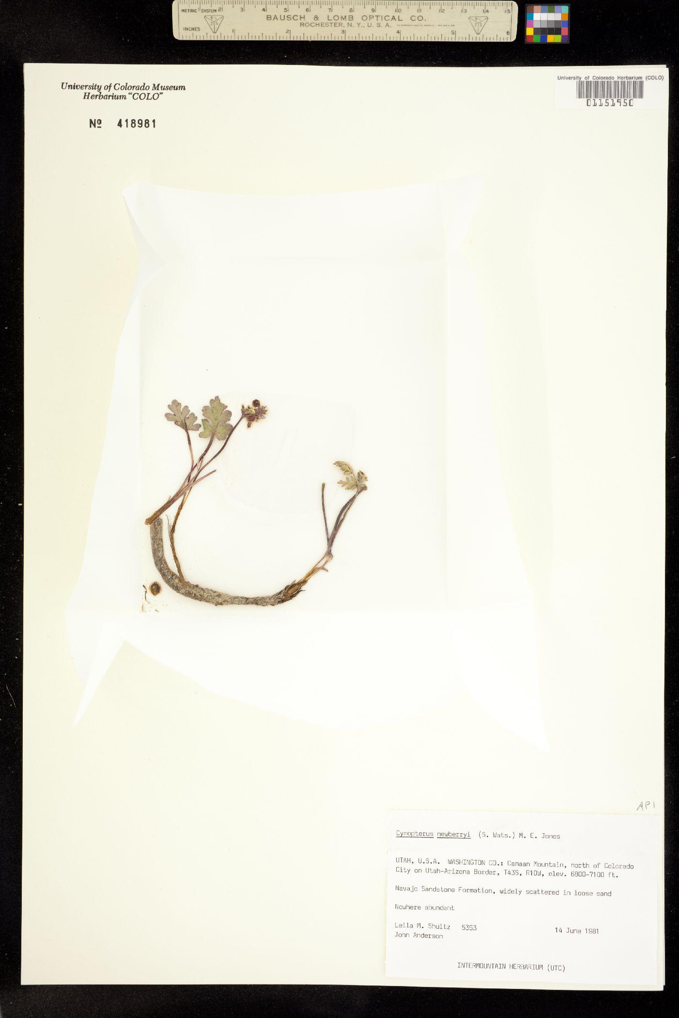 Cymopterus newberryi image