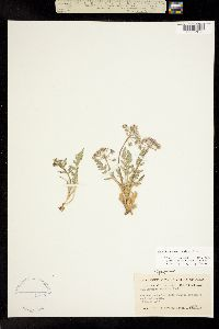 Cymopterus macrorhizus image