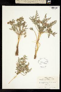 Image of Cymopterus macrorhizus
