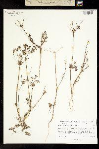 Daucus montanus image