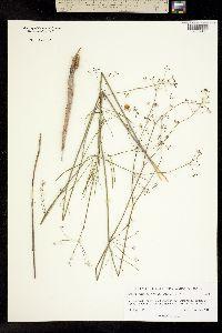 Donnellsmithia ternata image