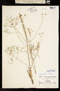 Donnellsmithia juncea image
