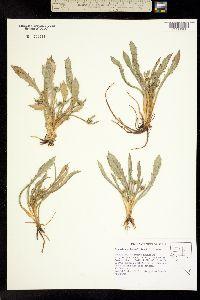 Image of Eryngium alismifolium