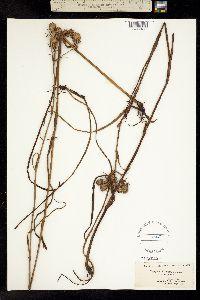 Image of Eryngium aquaticum