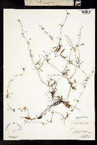 Eryngium baldwinii image