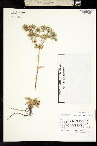 Eryngium lemmonii image
