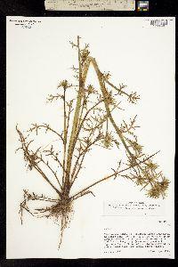 Eryngium madrense image