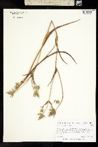 Image of Eryngium phyteumae