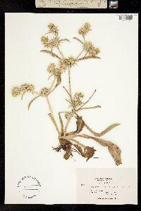 Image of Eryngium armatum
