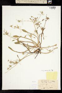 Image of Eryngium aristulatum
