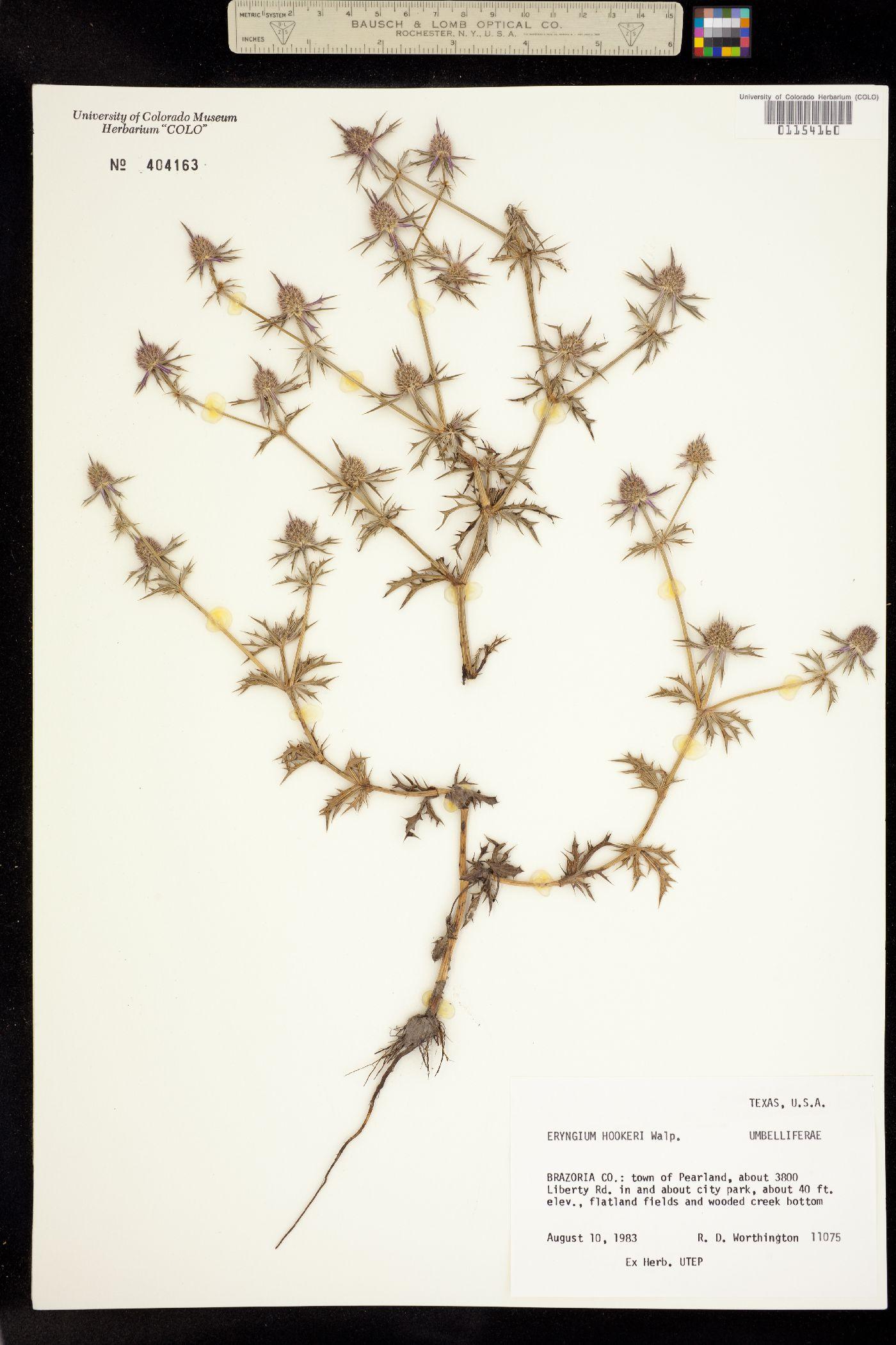 Eryngium hookeri image