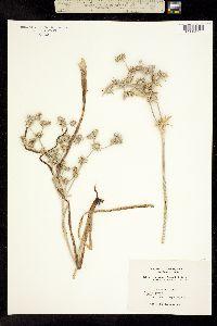 Image of Eryngium jepsonii