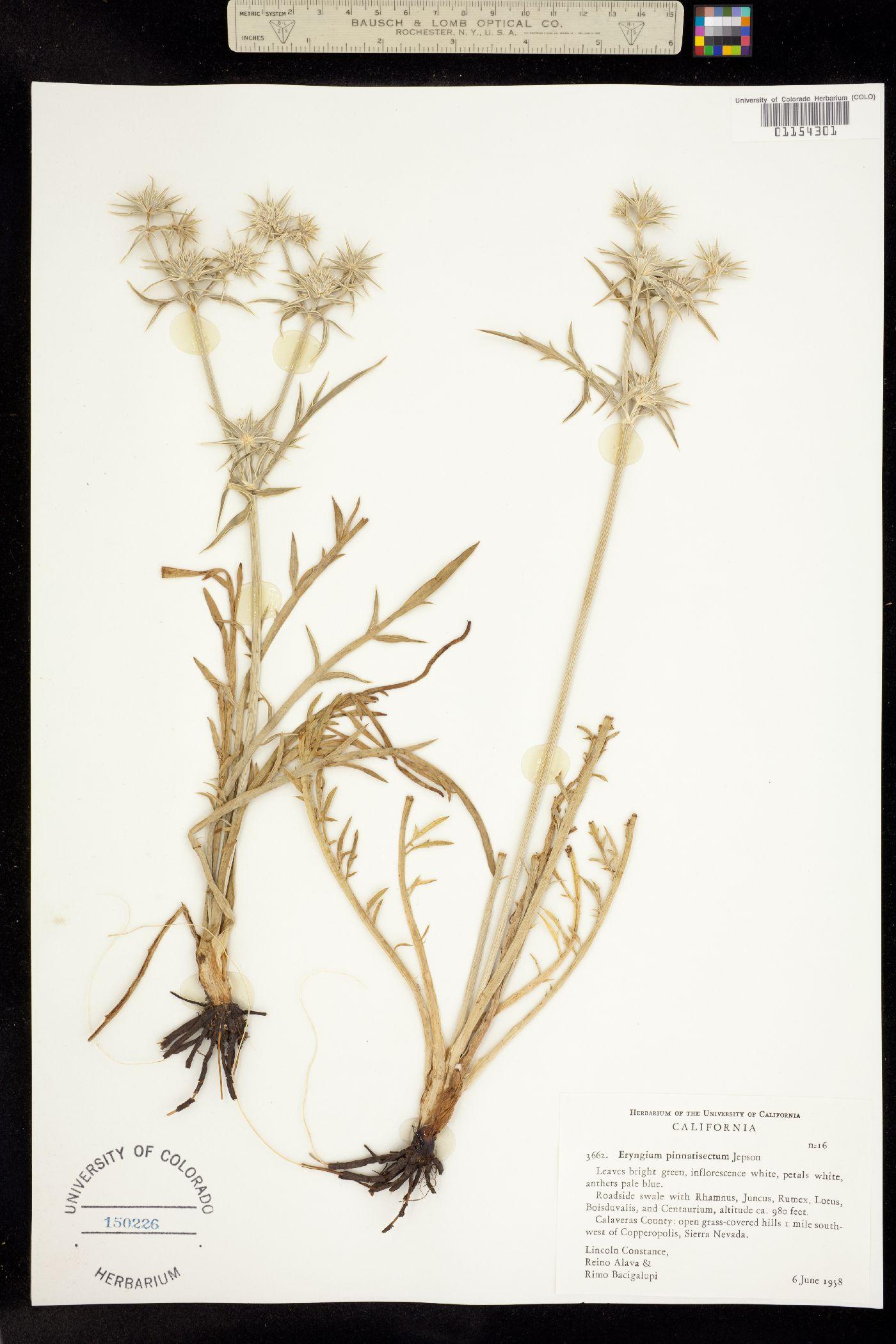 Eryngium pinnatisectum image