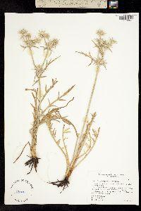 Image of Eryngium pinnatisectum