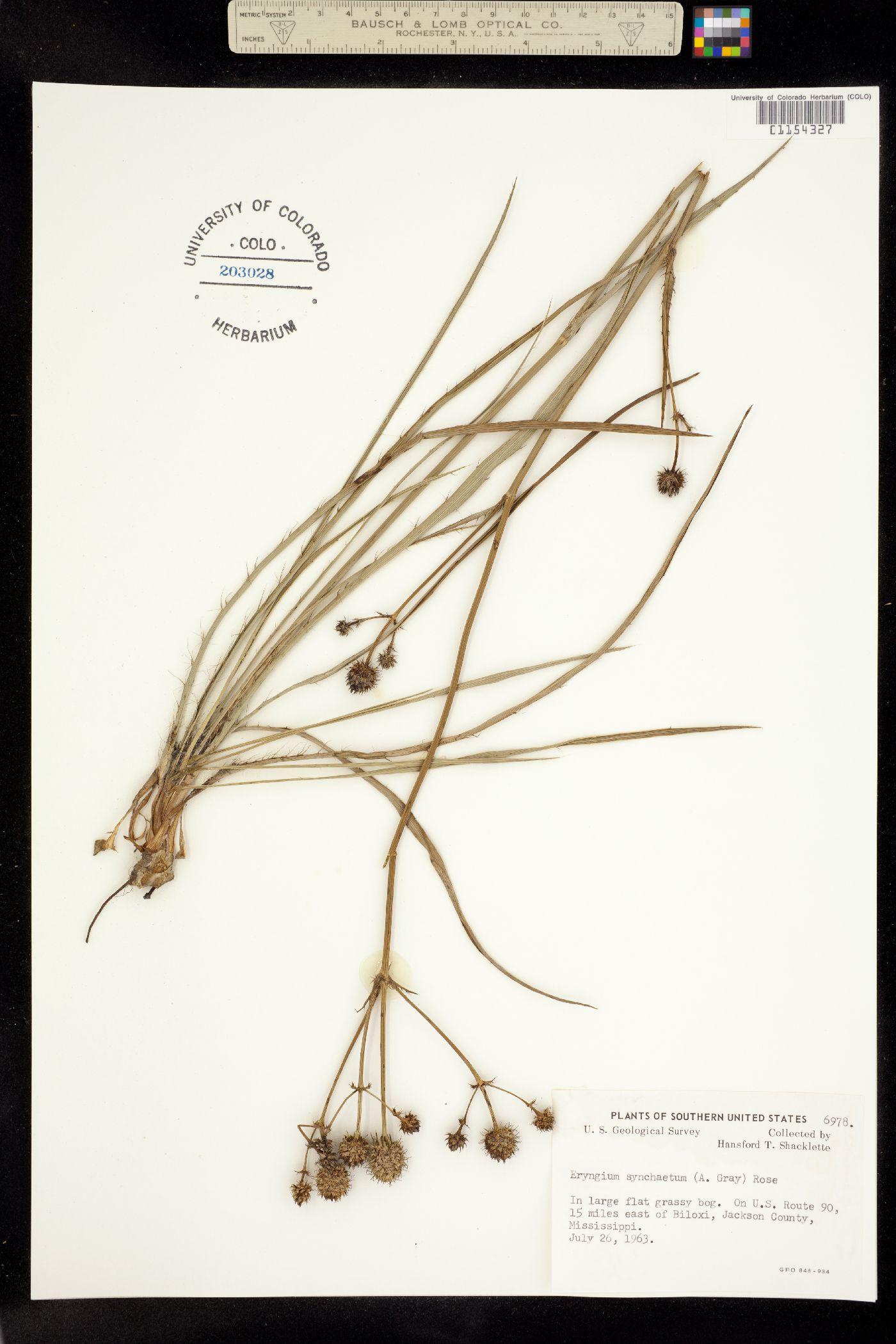 Eryngium synchaetum image